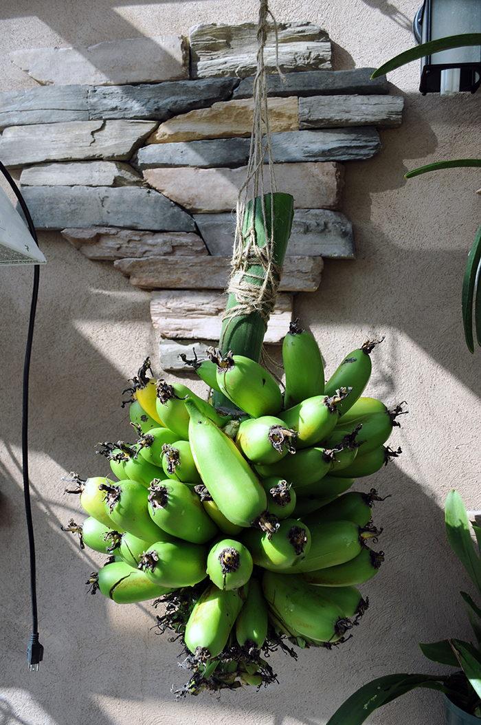 Greenhouse Bananas