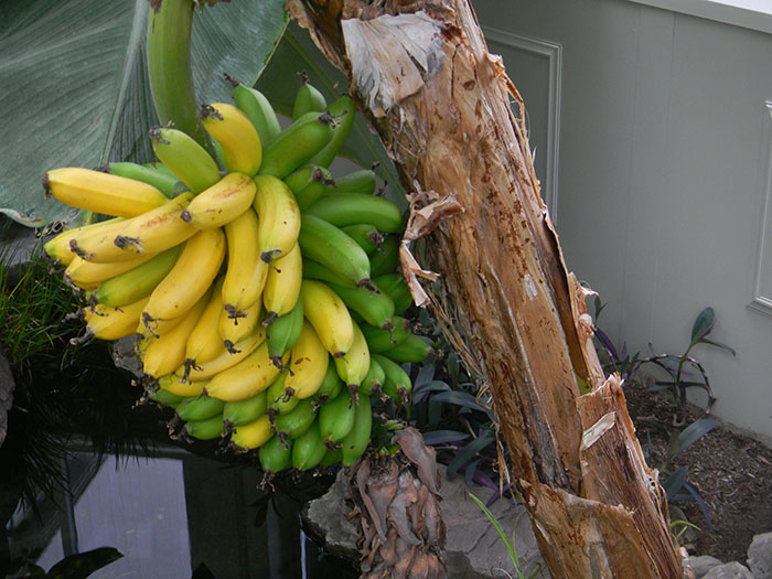 Bananas for harvest in Solar Innovations, Inc. Tropical Greenhouse